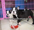 Boston Terrier puppies for sale in Atlanta Ga (6)