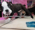 Boston Terrier puppies for sale in Atlanta Ga (9)
