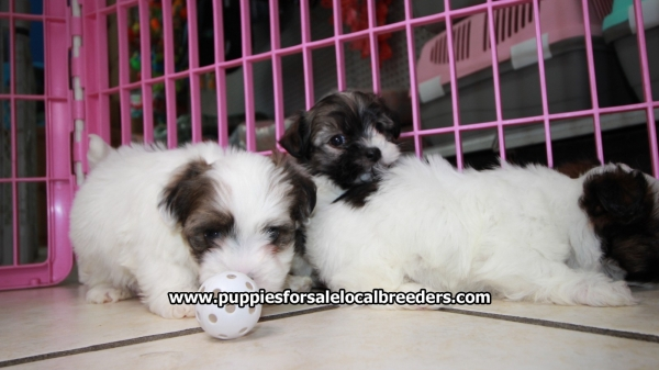 Pretty Havanese, Puppies For Sale, Georgia Local Breeders, Near Atlanta, Ga