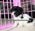 Havanese puppies for sale in Atlanta ga (2)