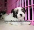 Havanese puppies for sale in Atlanta ga (4)