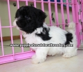 Havanese puppies for sale in Atlanta ga (6)