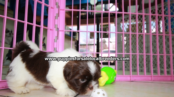 Beautiful Chocolate Shih Tzu Puppies For Sale, Georgia Local