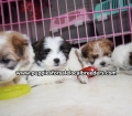 Teddy Bear puppies for sale Atlanta Ga (11)