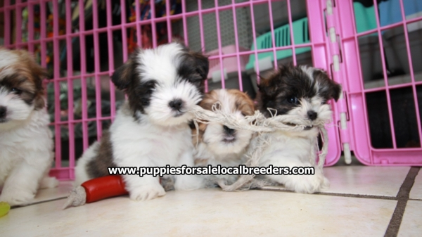 Teddy Bear, Shih Tzu Bichon, Puppies For Sale, Georgia Local Breeders, Near Atlanta, Ga