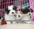 Teddy Bear puppies for sale Atlanta Ga (13)