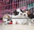 Teddy Bear puppies for sale Atlanta Ga (14)