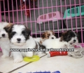 Teddy Bear puppies for sale Atlanta Ga (1)