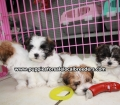Teddy Bear puppies for sale Atlanta Ga (3)