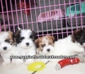 Teddy Bear puppies for sale Atlanta Ga (4)