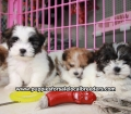 Teddy Bear puppies for sale Atlanta Ga (5)