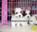 Teddy Bear puppies for sale Atlanta Ga (6)