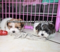 Teddy Bear puppies for sale Atlanta Ga (8)