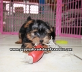 Yorkie puppies for sale Atlanta Ga (14)