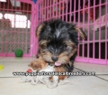 Yorkie puppies for sale Atlanta Ga (17)