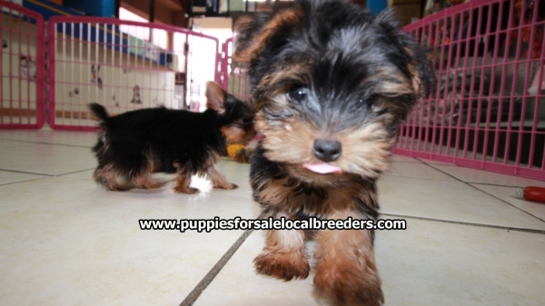 Small Yorkie Terrier Puppies For Sale, Georgia Local Breeders, Near Atlanta, Ga