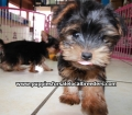 Yorkie puppies for sale Atlanta Ga (19)