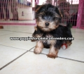 Yorkie puppies for sale Atlanta Ga (2)