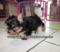 Yorkie puppies for sale Atlanta Ga (4)
