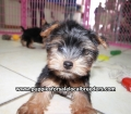 Yorkie puppies for sale Atlanta Ga (7)