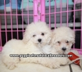 Toy Poodle puppies for sale Atlanta Ga (16)