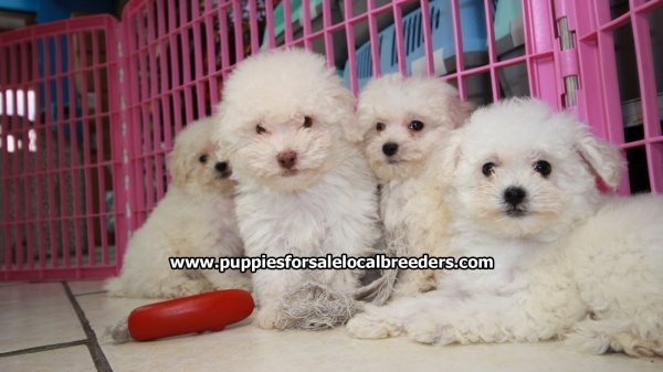 White Toy Poodle, Puppies For Sale, Georgia Local Breeders, Near Atlanta, Ga