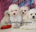 Toy Poodle puppies for sale Atlanta Ga (1)
