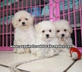 Toy Poodle puppies for sale Atlanta Ga (7)