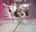 Cavachon puppies for sale Atlanta Ga (1)