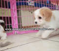 Cavachon puppies for sale Atlanta Ga (2)