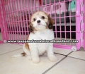 Cavachon puppies for sale Atlanta Ga (4)
