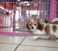 Cavachon puppies for sale Atlanta Ga (5)
