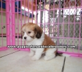Cavachon puppies for sale Atlanta Ga (6)