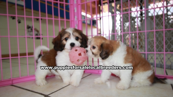 Very Cute Cavachon Puppies For Sale, Georgia Local Breeders, Near Atlanta, Ga