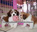 Cavachon puppies for sale Atlanta Ga (7)