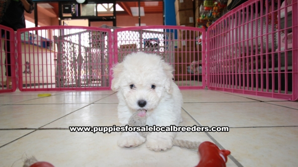 Very Cute Bichon Poo Puppies for Sale In Georgia