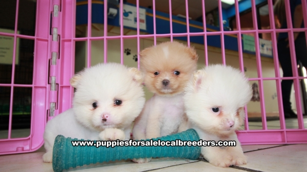 Adorable Teacup Pomeranian Puppies For Sale, Georgia Local Breeders