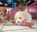 Toy Poodle Puppies For Sale Atlanta Ga (3)