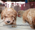 Toy Poodle Puppies For Sale Atlanta Ga (4)