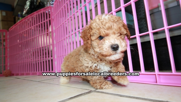 Beautiful Red Apricot Toy Poodle, Puppies For Sale, Georgia Local Breeders, Near Atlanta, Ga