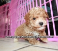 Toy Poodle Puppies For Sale Atlanta Ga (6)