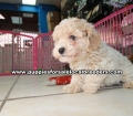 Toy Poodle Puppies For Sale Atlanta Ga (8)