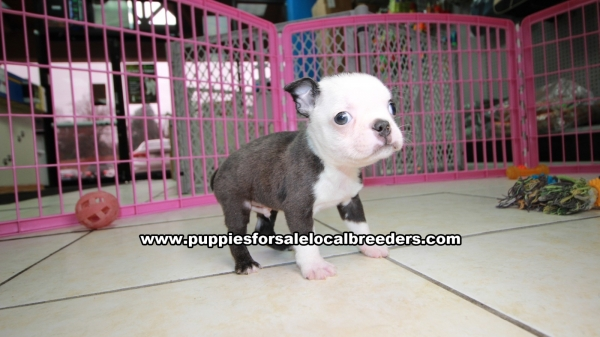 Small Blue Boston Terrier Boston Terrier Puppies For Sale, Georgia Local Breeders, Near Atlanta, GA