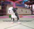Blue Boston Terrier puppies for sale Atlanta Ga (4)