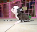 Blue Boston Terrier puppies for sale Atlanta Ga (6)