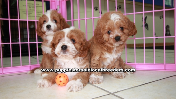 Beautiful Red Cavapoo Puppies For Sale In Georgia at