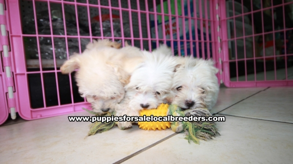 Maltipoo Puppies For Sale In Florida