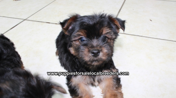 Super Sweet Yorkie Puppies For Sale, Georgia Local Breeders