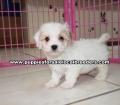Coton Poo puppies for sale Georgia (6)