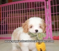 Coton Poo puppies for sale Georgia (7)